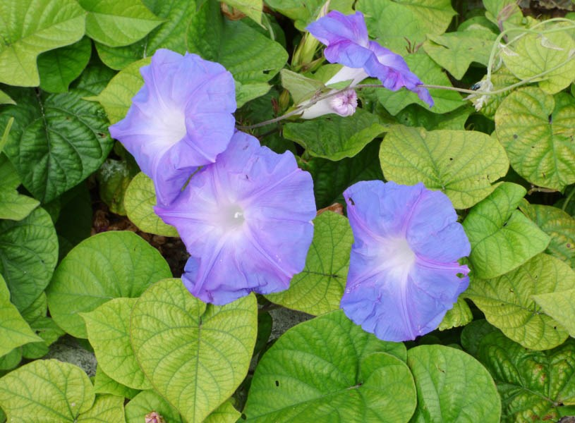 Ipomoea indica (blue morning glory); flowers and leaves. Radar Hill, Sand Island, Midway Atoll, Hawaii, USA. June 2017.