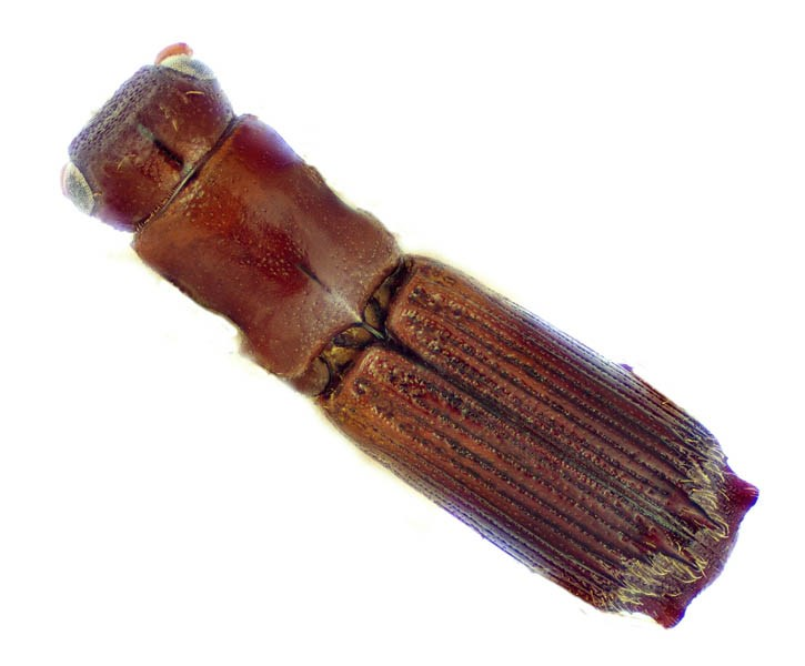 Platypus quercivorus (oak ambrosia beetle); adult, dorsal view. USDA PPQ in Fort Collins, Colorado, United States.