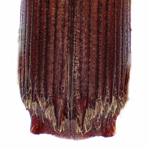 Platypus quercivorus (oak ambrosia beetle); adult, dorsal view of posterior region, showing declivity and elytral apices. USDA PPQ in Fort Collins, Colorado, United States.