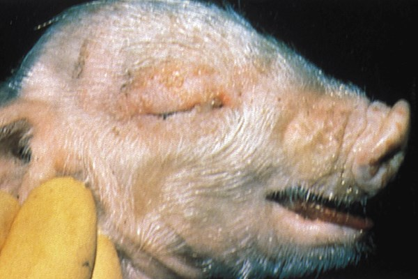 These lesions in a young piglet with such severity are characteristic of Aujesky's disease virus infection.