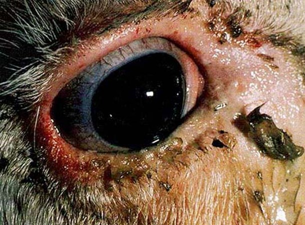 Conjunctivitis and mucopurulent exudate in the early stages of RP infection.
