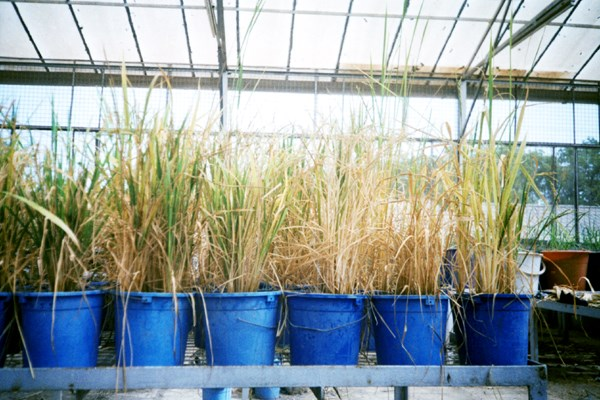 Maturing plants exhibiting completely sterile and empty spikelets, a characteristic of RYMV infection in highly susceptible varieties.
