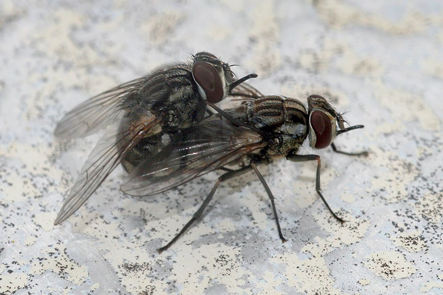 Stomoxys calcitrans (biting stable fly; mated pair. USA