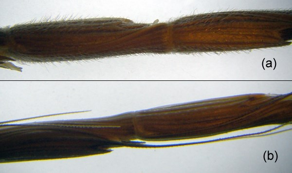 A. cylindrica; close-up of two different morphologies.  Pubescent (a): Glabrous (b).