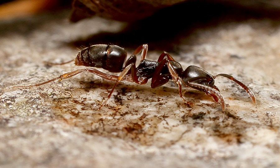 Brachyponera chinensis (asian needle ant); adult.