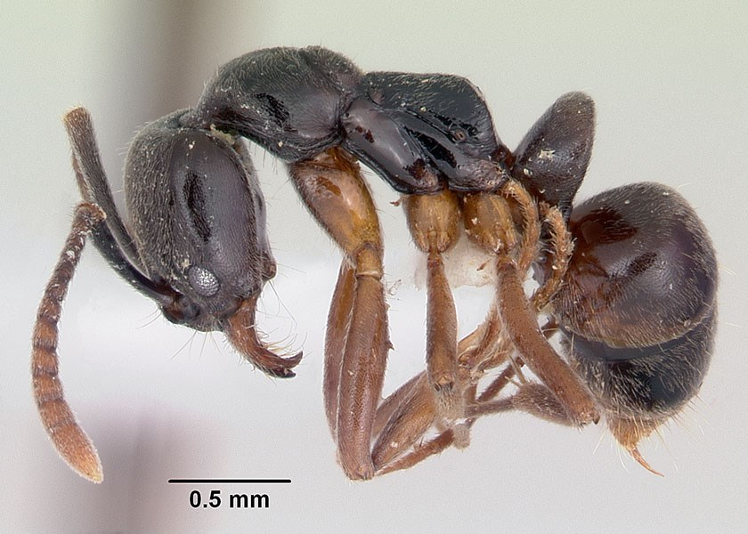 Brachyponera chinensis (asian needle ant); adult, lateral view. Museum set specimen. Note scale.