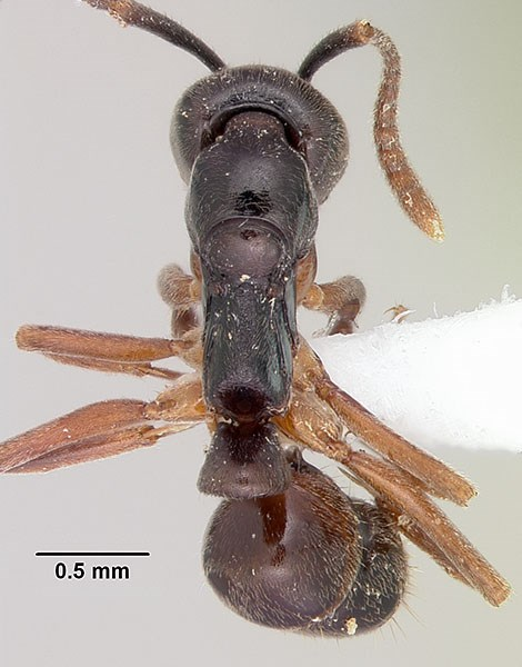 Brachyponera chinensis (asian needle ant); adult, dorsal view. Museum set specimen. Note scale.