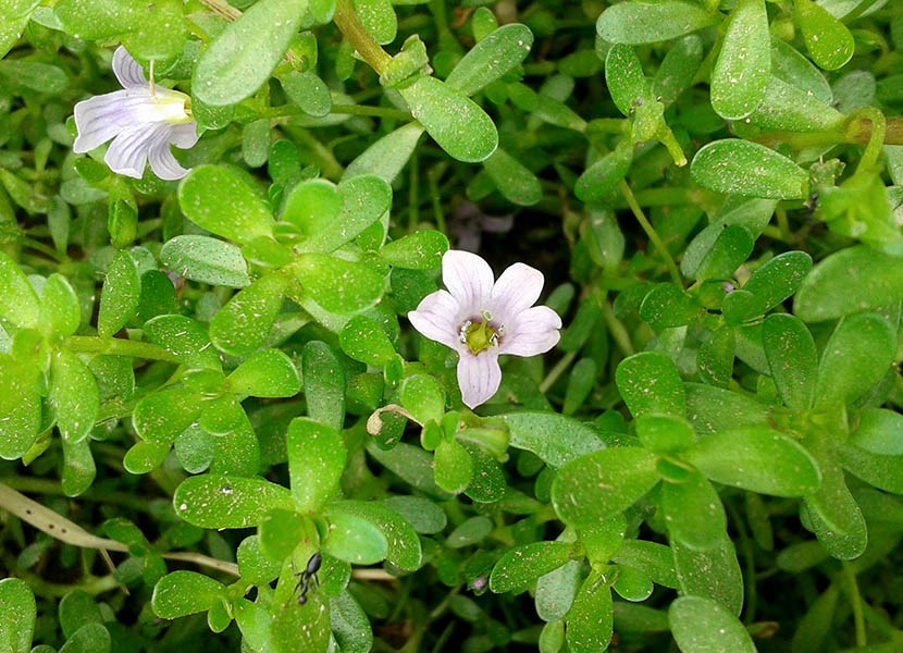 Bacopa monnieri (water hyssop); habit, showing flowers and leaves. Nellore, Andhra Pradesh, India. November 2013.