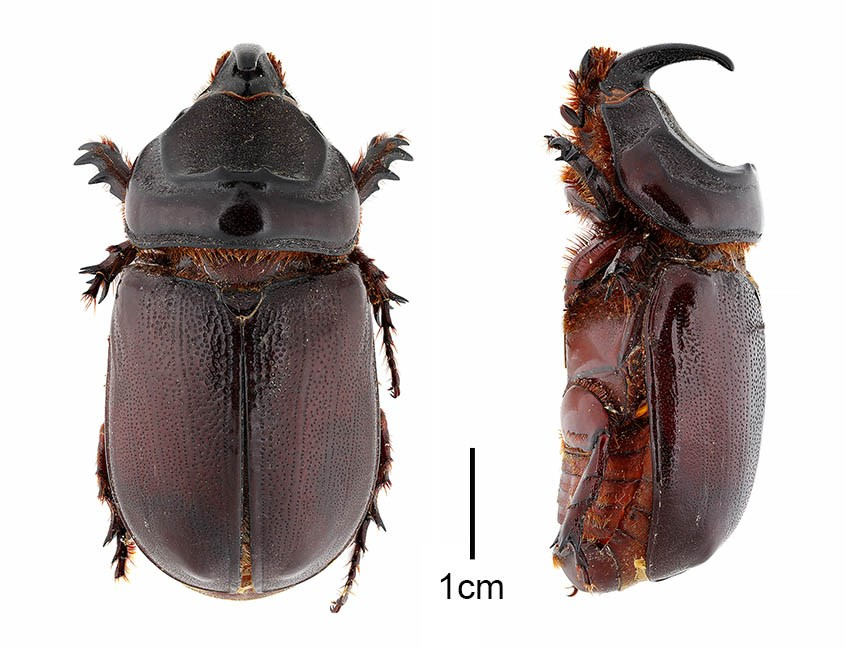 Oryctes rhinoceros (coconut rhinoceros beetle); adult males, lateral and dorsal views. Collected 20 August 1957 in Thailand (ex-Siam).