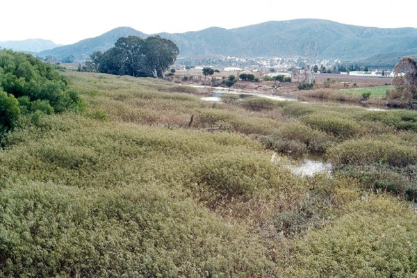S. punicea infestation choking a perennial river.