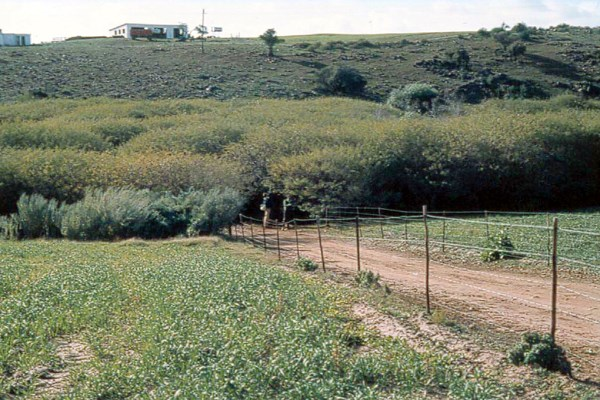 S. punicea infestation before biological control (1987).