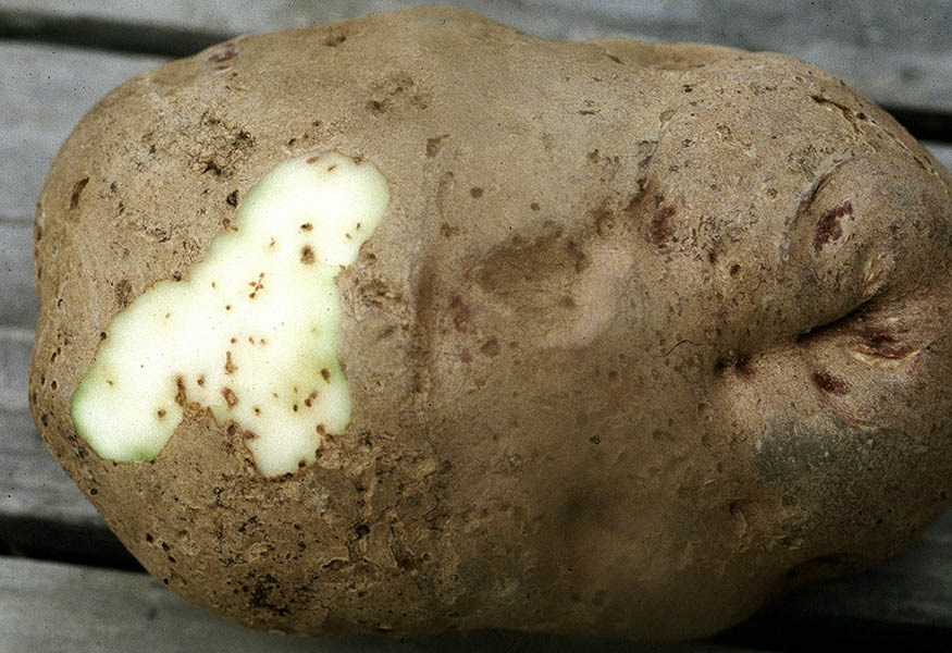 Epitrix tuberis (tuber flea beetle); external damage to a potato tuber, and tuneling under the exposed section. USA.