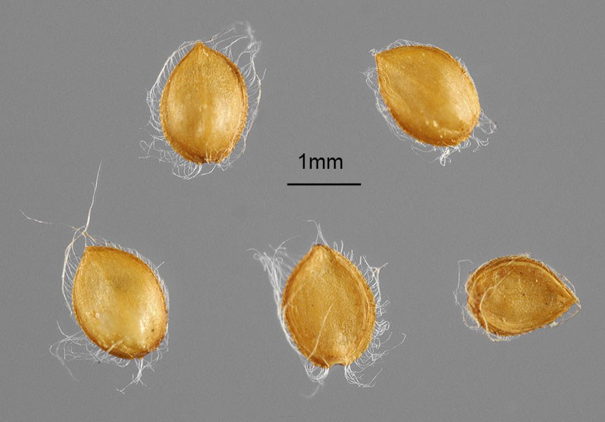 Paspalum conjugatum (buffalo grass); seeds (ex. Indonesia, Java). Note scale.