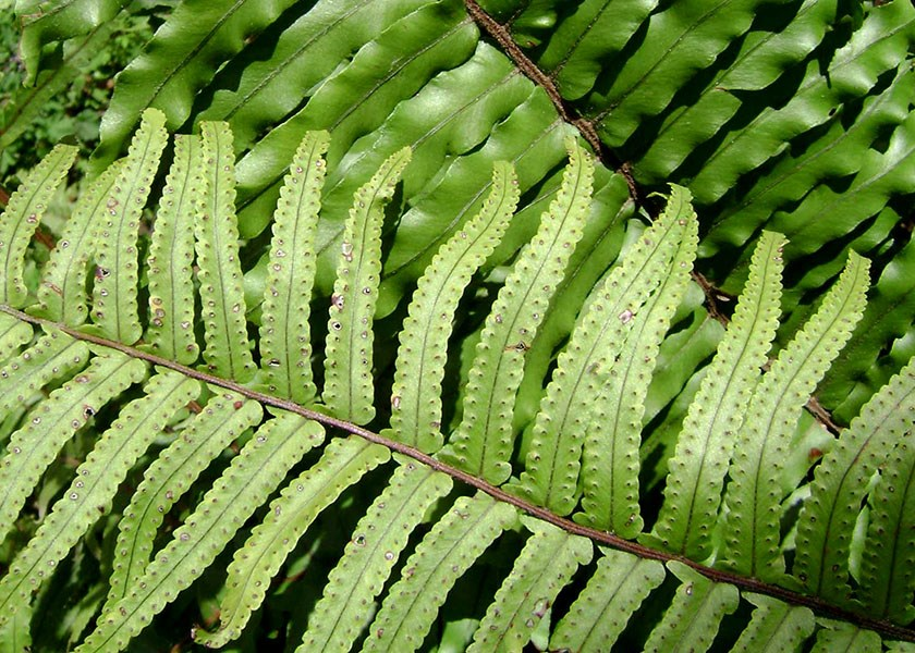 Nephrolepis hirsutula (sword fern); fronds, upper and lower surfaces. Note the small 'ear-lobe' at the base of each leaflet. Tonga. September 2007.