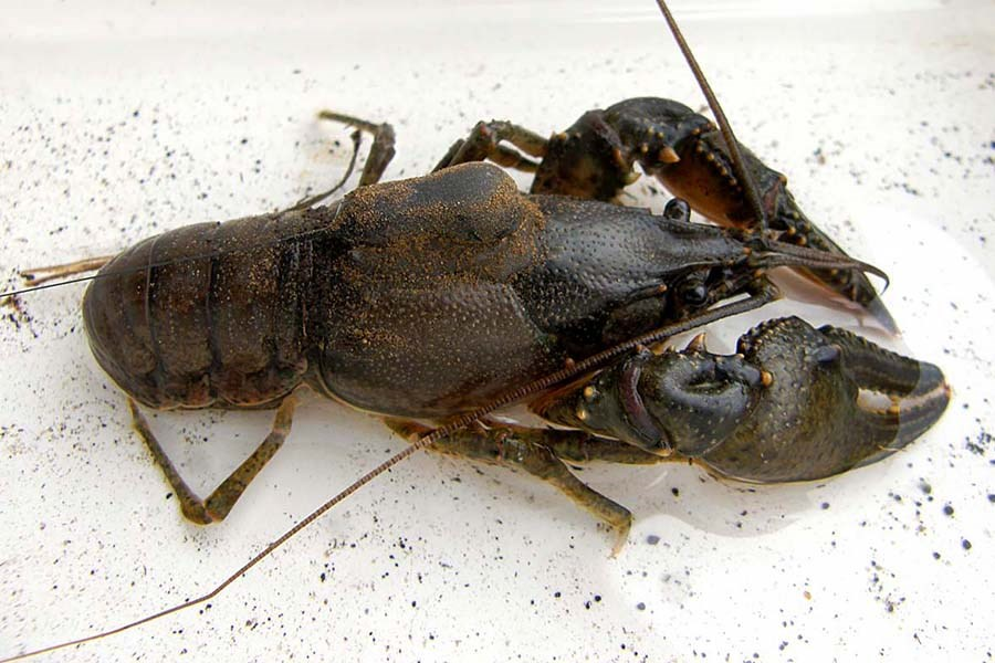 Faxonius virilis (virile crayfish); adult female, with radio-tag attached for monitoring.