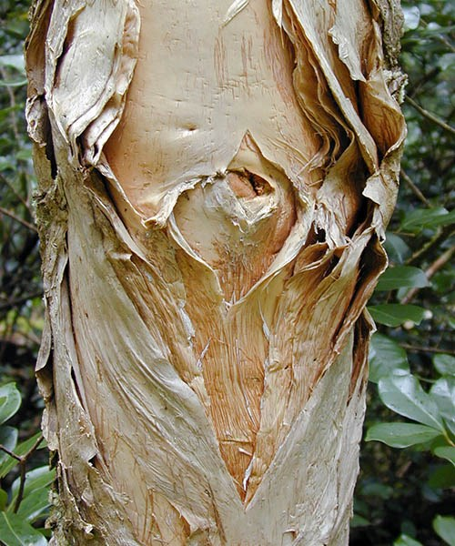 Melaleuca quinquenervia (paperbark tree); peeling bark, showing its  'papery' nature.  Wahinepee, Maui, Hawaii, USA. August 2002.
