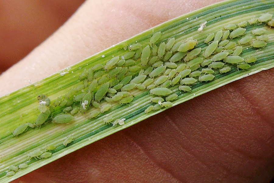 Diuraphis noxia (Russian wheat aphid); habit, showing aphid colony and symptoms on winter wheat (Triticum spp.). USA.
