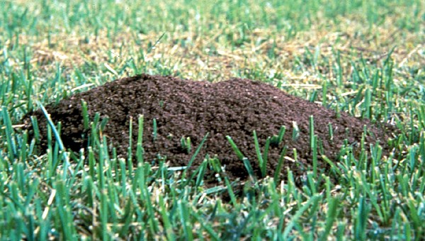 Solenopsis invicta (red imported fire ant); mound in turfgrass.