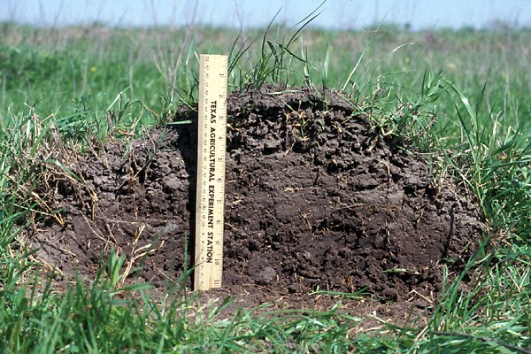 Solenopsis invicta (red imported fire ant); mound in pasture, showing cross-section. Note scale.
