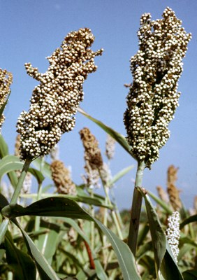 Sorghum seed heads in field crop trial at CIAT.