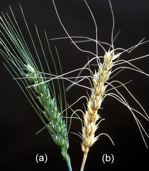 A healthy wheat head (a) stands in contrast to one inoculated with Fusarium graminearum (b); note that the infected head is showing severe symptoms of Fusarium head blight disease.