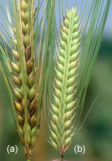 Healthy resistant barley (b) and susceptible barley showing symptoms of Fusarium head blight (a).