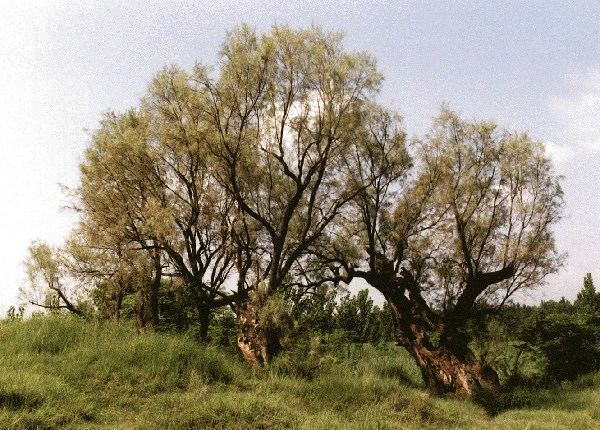 A row of mature trees, Pakistan.