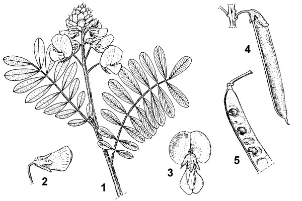 1. flowering branch 2. flowerbud just before opening 3. flower, back view 4. pod 5. part of opened fruit showing seeds