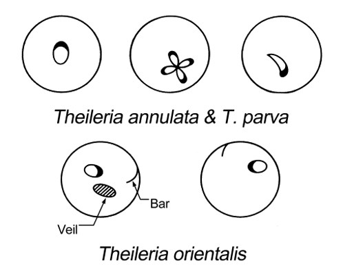 Diagrammatic representation of the intra-erythrocytic stages of T. annulata, T. parva and members of the T. orientalis/T. buffeli group. Some forms of piroplasms dominate in certain species: round and oval forms in T annulata; rods in T. parva; rods and elongate forms in T. orientalis/T. buffeli. Veils consist of a haemoglobin derived substance; bars are connected with the parasite and the outside of the cell. Both structures are thought to be of parasite origin. T. parva only produces a veil in Syncerus cafffer. Bars occur in all strains of T. orientalis/T. buffeli; veils are absent in N. American strains and not yet recorded for Chinese or African strains.