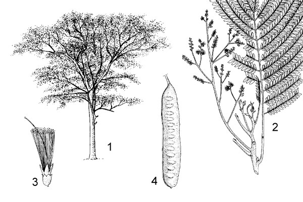 1. tree habit 2. flowering twig with part of leaf 3. flower 4. pod