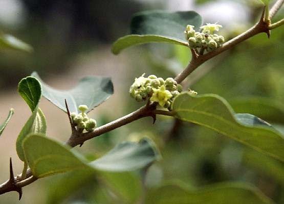 Flowering shoot of Ziziphus mauritiana, 'Jujub tree', in Mali.