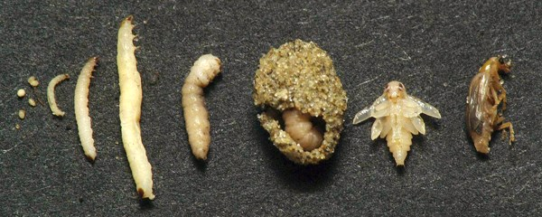 Diabrotica virgifera virgifera (western corn rootworm); life history. eggs; first instar; second instar; third instar; ready to pupate third instar; pupae in soil; young pupae; newly hatched adult.