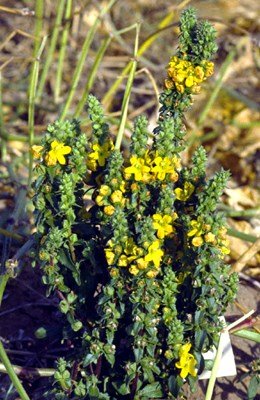 Alectra vogelii (yellow witchweed); flowering plant.