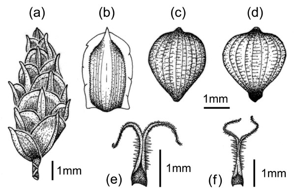 Spikes and achenes of F. dichotoma: (a) spikelet; (b) fertile glume; (c & d) achene; and (e & f) two-branched apex.