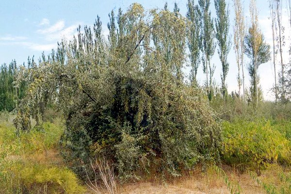 Elaeagnus angustifolia: natural habit, grown with poplars in Inner Mongolia, China.