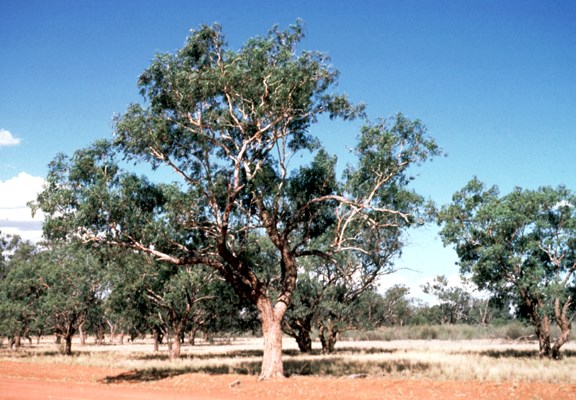 Tree habit of mature Eucalyptus coolabah. South of Wanaaring, NSW,  Australia.