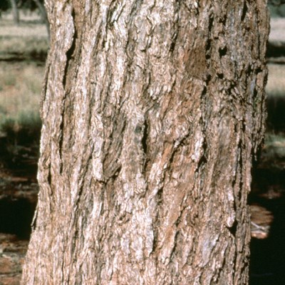 Bark of E. coolabah. South of Wanaaring, NSW,  Australia.