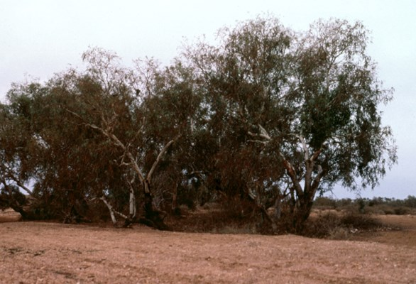 Small stand of E. coolabah subsp. arida.  East of Coober Pedy, South  Australia.