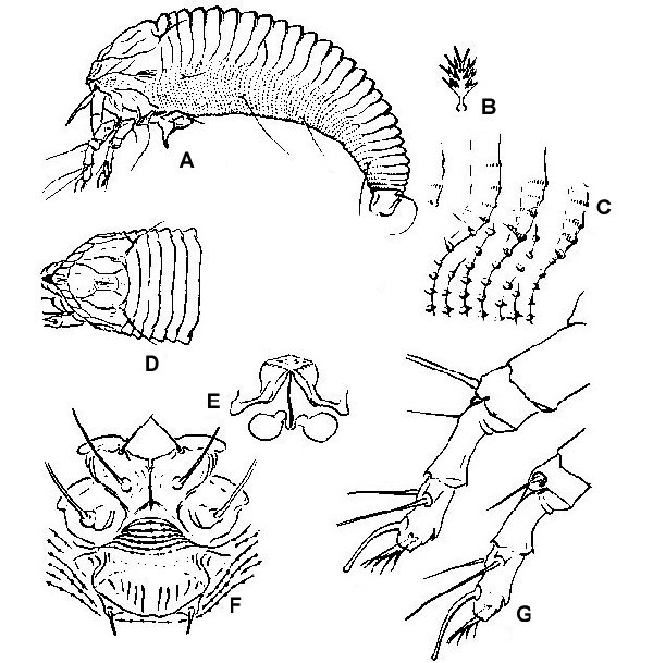 Line artwork of A. lycopersici, adult female: A, lateral view; B, featherclaw; C, dorsal view of prodorsal shield region; D, detail of microtubercles; E, internal genitalia; F, coxae and genital region; G, lateral view of legs.