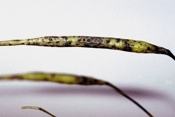 Damage symptoms of A. brassicae on fruit of Brassica rapa. Seeds may be infected through the fruit wall.