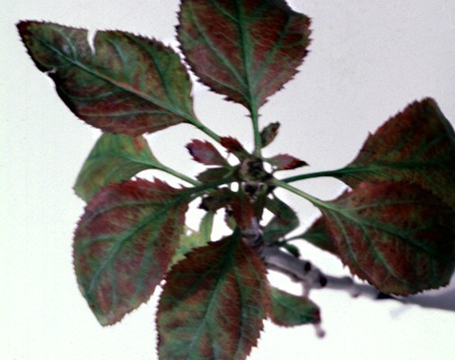 Autumnal apple leaves with reddish-bronze discoloration, rosette and enlarged stipules.