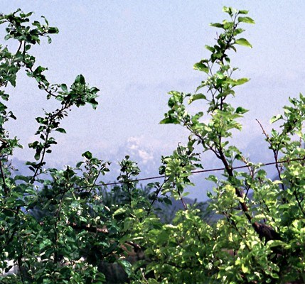 Apple proliferation affected trees are less vigorous and show pale leaves (on cv. Golden Delicious).