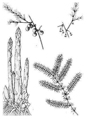 A. officinalis: 1, leafy shoot; 2, flowering shoot; 3, fruiting shoot; 4, crown with spears.  Reproduced from the series 'Plant Resources of South-East Asia', Vols 1-20 (1989-2000), by kind permission of the PROSEA Foundation, Bogor, Indonesia.