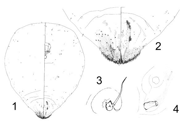 Aspidiotus destructor (coconut scale); anatomic details of an adult female taken from Cocos nucifera, Solomon Islands. 1: General aspect. 2: Pygidium. 3: Antenna. 4: Anterior spiracle (not to scale).