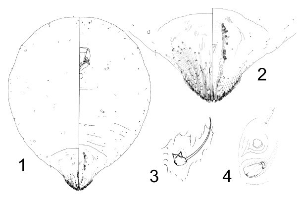 Aspidiotus destructor (coconut scale); anatomic details of an adult female taken from Carica papaya, Fiji. 1: General aspect. 2: Pygidium. 3: Antenna. 4: Anterior spiracle (not to scale).