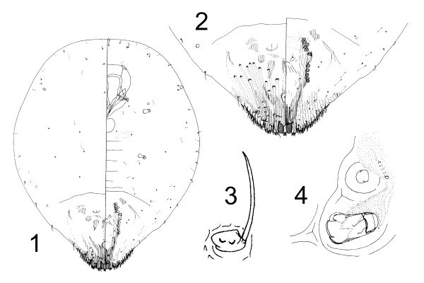 Aspidiotus destructor (coconut scale); anatomic details of an adult female taken from Persea americana, Fiji. 1: General aspect. 2: Pygidium. 3: Antenna. 4: Anterior spiracle (not to scale).