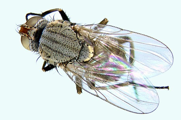 Adult fly of A. orientalis.