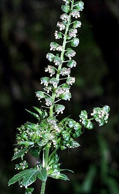 Ambrosia trifida (giant ragweed); male flowers spike with exserted (protruding) anthers, and female flowers just visible above the uppermost leaves. Ragweeds are a major contributing factor to autumn hayfever.