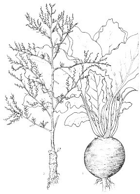 Beta vulgaris (beetroot); 1, habit cv. group Garden Beet; 2, inflorescence.   Reproduced from the series 'Plant Resources of South-East Asia', Vols 1-20 (1989-2000), by kind permission of the PROSEA Foundation, Bogor, Indonesia.