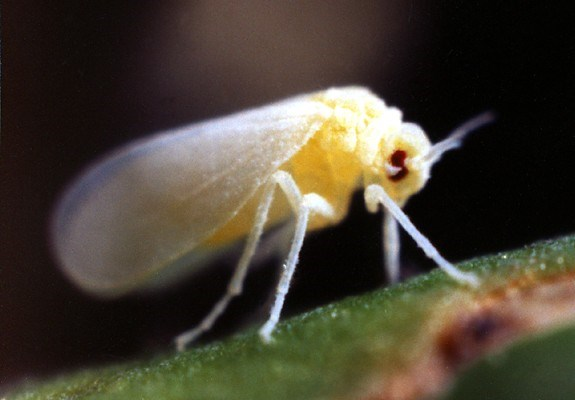 Bemisia tabaci (B biotype) (silverleaf whitefly); adult (body length 1mm).